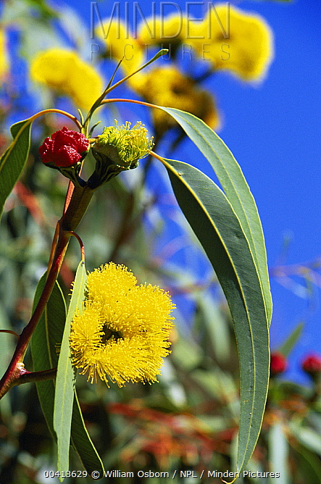 Minden pictures stock photos red cap gum tree eucalyptus red cap gum tree eucalyptus erythrocorys with flower bud red and yellow mightylinksfo