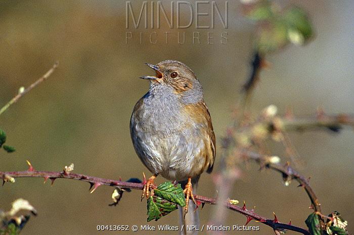 Dunnock (Prunella modularis) singing on bramble, Warwickshire, United Kingdom  -  Mike Wilkes/ npl