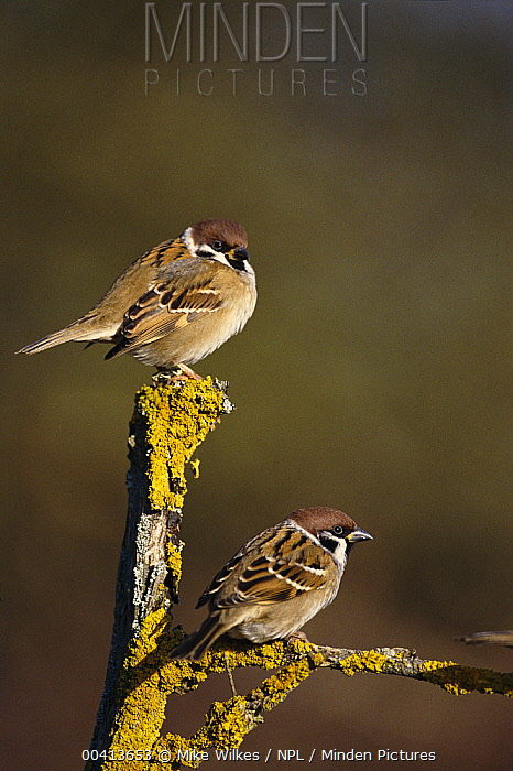 Eurasian Tree Sparrow (Passer montanus) pair on lichen-covered twig, Warwickshire, United Kingdom  -  Mike Wilkes/ npl