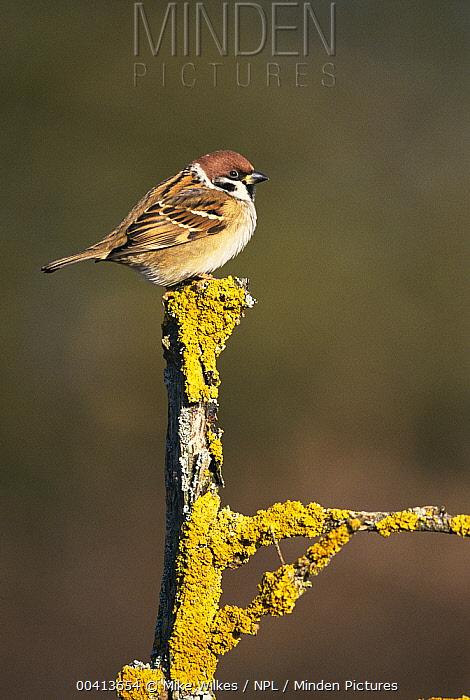 Eurasian Tree Sparrow (Passer montanus) on lichen-covered twig, Warwickshire, United Kingdom  -  Mike Wilkes/ npl