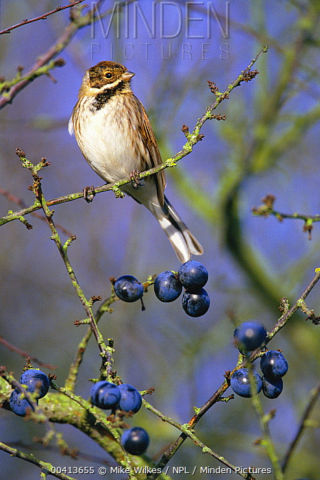 Reed Bunting (Emberiza schoeniclus) male perched on Blackthorn with Sloe berries, United Kingdom  -  Mike Wilkes/ npl