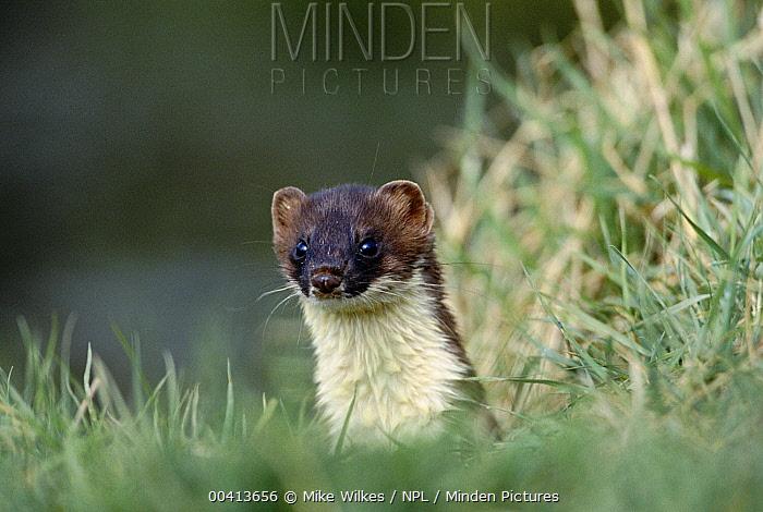Short-tailed Weasel (Mustela erminea) portrait, Warwickshire, United Kingdom  -  Mike Wilkes/ npl