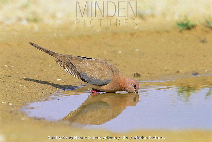 Laughing Dove (Spilopelia senegalensis) drinking from waterhole, Jaaluni, Oman, Middle East  -  Hanne & Jens Eriksen/ npl