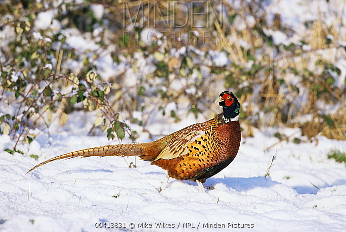 Ring-necked Pheasant (Phasianus colchincus) male in snow, Warwickshire, United Kingdom  -  Mike Wilkes/ npl