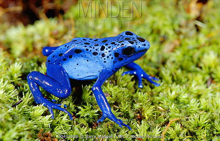 Blue Poison Dart Frog (Dendrobates azureus) very tiny poisonous frog, Indian tribes use poison for arrows, native to South America  -  Barry Mansell/ npl