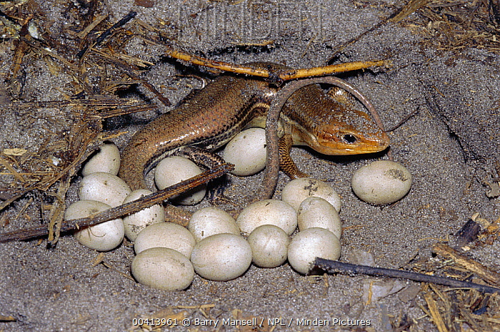Broad-headed Skink (Eumeces laticeps) female with eggs, Florida  -  Barry Mansell/ npl