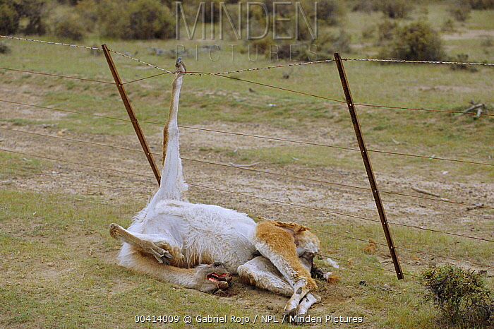 Guanaco (Lama guanicoe) dead after being caught in wire fence, Valdez, Patagonia, Argentina  -  Gabriel Rojo/ npl