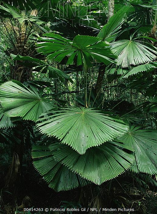 Fan palm tree leaves, Daintree National Park, Queensland, Australia  -  Patricio Robles Gil/ npl