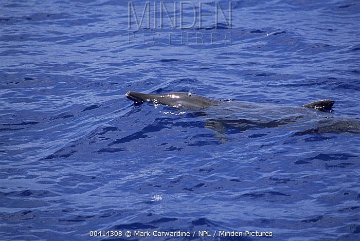 Rough-toothed Dolphin (Steno bredanensis) surfacing, Indian Ocean  -  Mark Carwardine/ npl