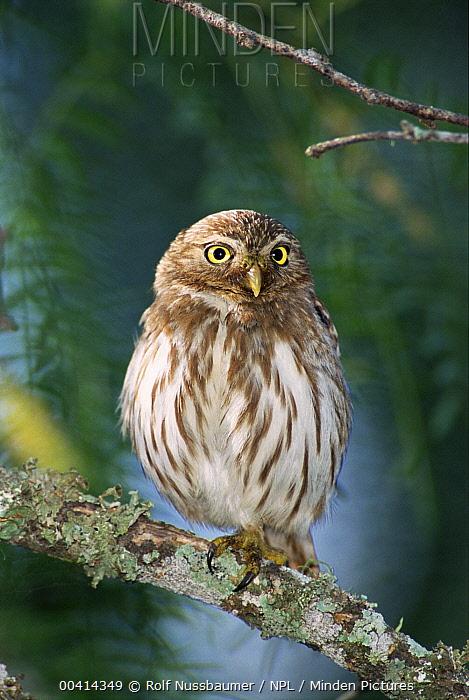 Ferruginous Pygmy Owl (Glaucidium brasilianum) portrait, Texas  -  Rolf Nussbaumer/ npl