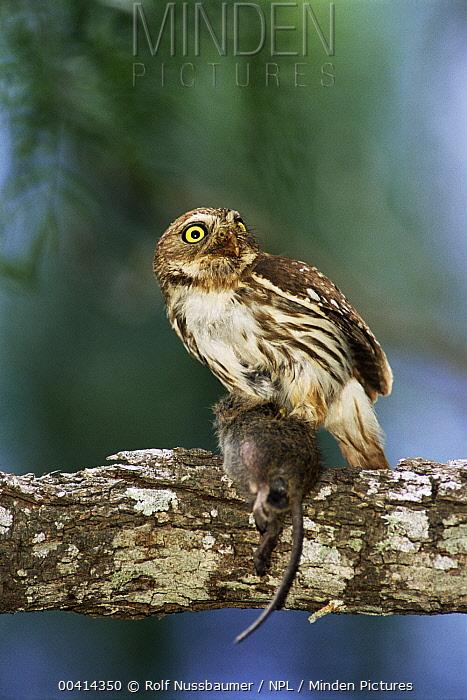 Ferruginous Pygmy Owl (Glaucidium brasilianum) with mouse prey, Texas  -  Rolf Nussbaumer/ npl