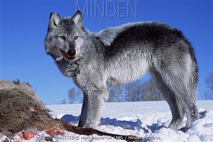 Gray Wolf (Canis lupus) feeding on Elk (Cervus elaphus) carcass, Idaho  -  Mark Payne-Gill/ npl