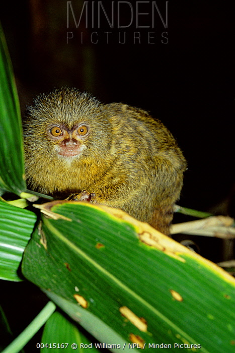 Pygmy Marmoset (Cebuella pygmaea) portrait, world's smallest primate, Amazonia  -  Rod Williams/ npl