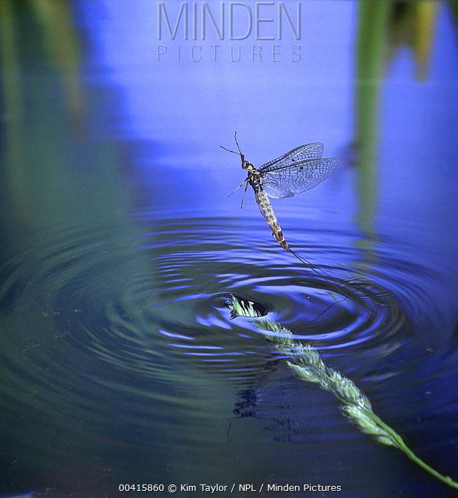Common Burrower Mayfly (Ephemera danica) female taking off from water, England  -  Kim Taylor/ npl