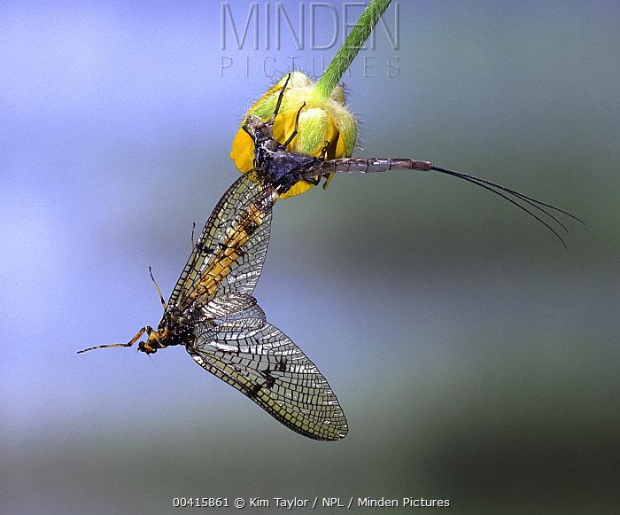 Common Burrower Mayfly (Ephemera danica) emerging from skin of subadult, England  -  Kim Taylor/ npl