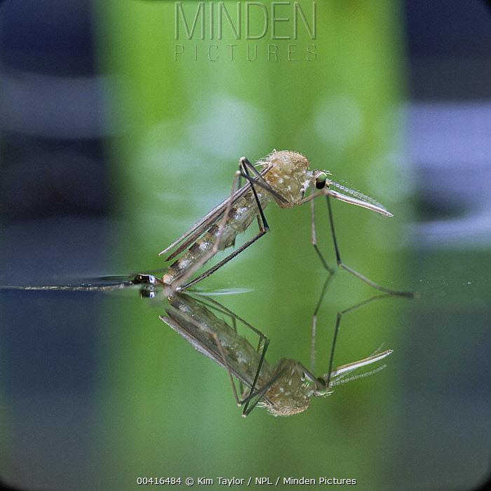Mosquito (Culex pipiens) female emerging from aquatic pupa, England  -  Kim Taylor/ npl