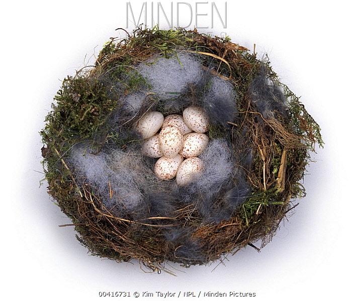 Great Tit (Parus major) nest with eight eggs, England  -  Kim Taylor/ npl
