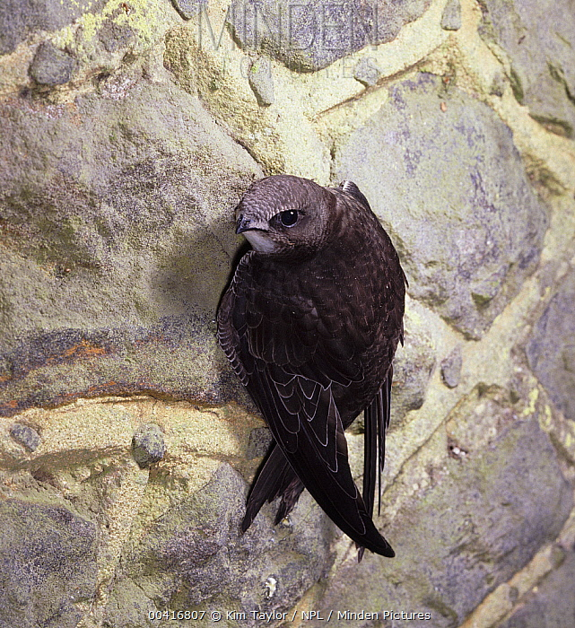 Common Swift (Apus apus) clinging to wall surface, England  -  Kim Taylor/ npl