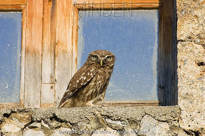 Little Owl (Athene noctua) on window sill, Greece  -  Konrad Wothe