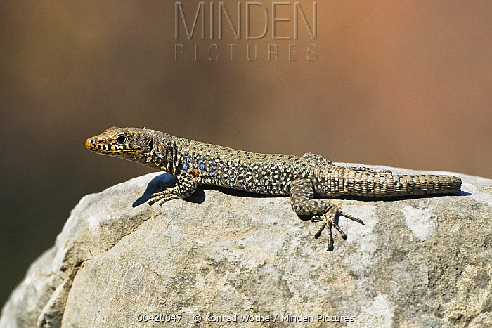 Wall Lizard (Podarcis sp) without tip of tail, Peloponnese, Greece  -  Konrad Wothe