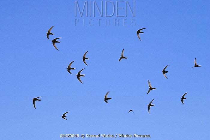 Common Swift (Apus apus) flock flying, Greece  -  Konrad Wothe