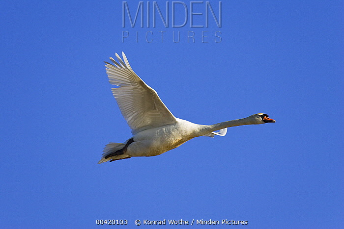 Mute Swan (Cygnus olor) flying, Camargue, France  -  Konrad Wothe