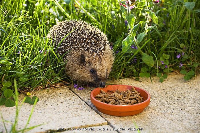Brown-breasted Hedgehog (Erinaceus europaeus) in garden at feeding bowl, Bavaria, Germany  -  Konrad Wothe