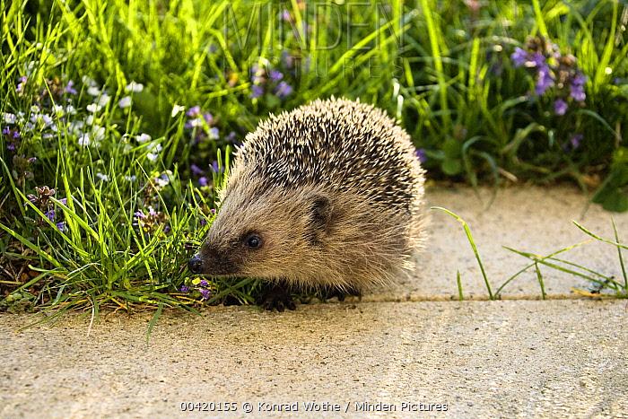 Brown-breasted Hedgehog (Erinaceus europaeus) in garden, Bavaria, Germany  -  Konrad Wothe