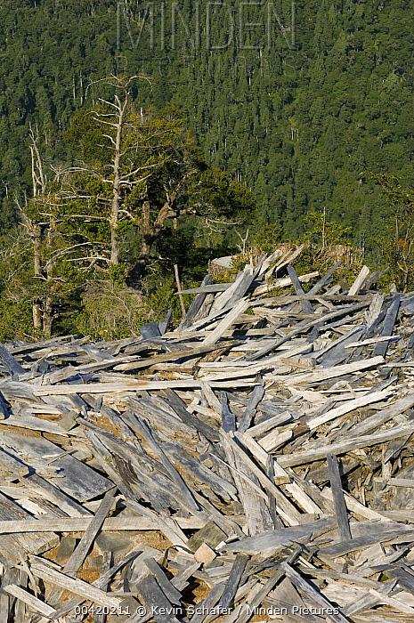 Alerce (Fitzroya cupressoides) debris from logging and shingle operation, Chile  -  Kevin Schafer