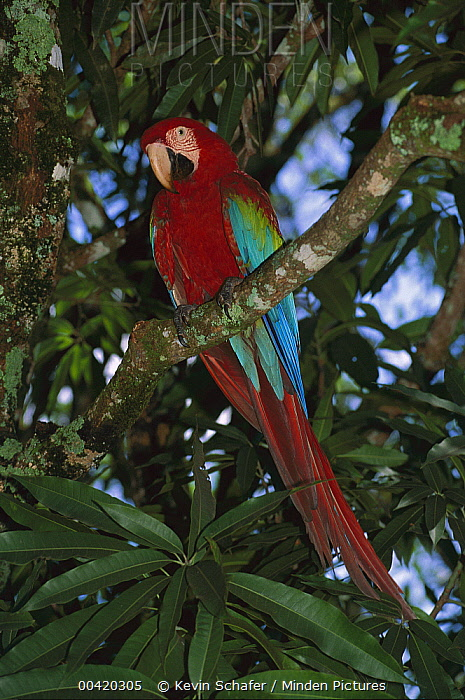Red and Green Macaw (Ara chloroptera) in tree, Canaima National Park, Venezuela  -  Kevin Schafer
