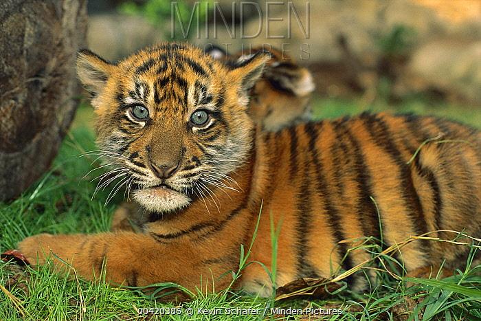 Sumatran Tiger (Panthera tigris sumatrae) cub, endangered species native to Sumatra  -  Kevin Schafer