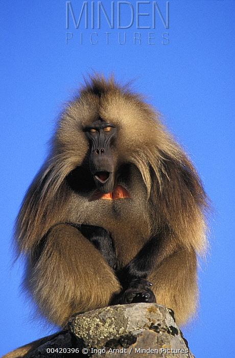Gelada Baboon (Theropithecus gelada) male calling, Simien Mountain National Park, Ethiopia  -  Ingo Arndt