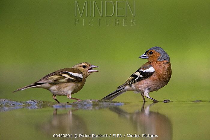 Chaffinch (Fringilla coelebs) pair at woodland pool, Hungary  -  Dickie Duckett/ FLPA