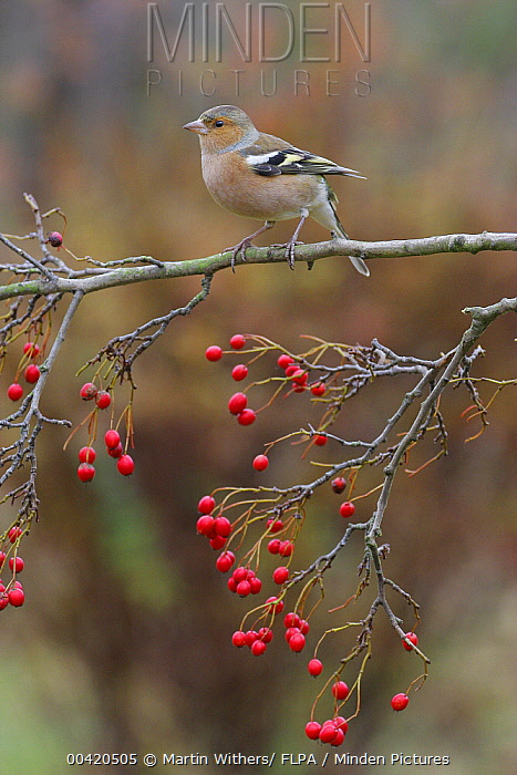 Chaffinch (Fringilla coelebs) male perched on hawthorn branch with berries, England  -  Martin Withers/ FLPA