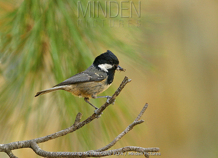Coal Tit (Periparus ater) with food, Troodos Mountains, Cyprus  -  Michael Gore/ FLPA