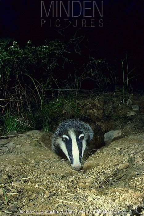 Eurasian Badger (Meles meles) emerging from den, Europe  -  Martin Withers/ FLPA
