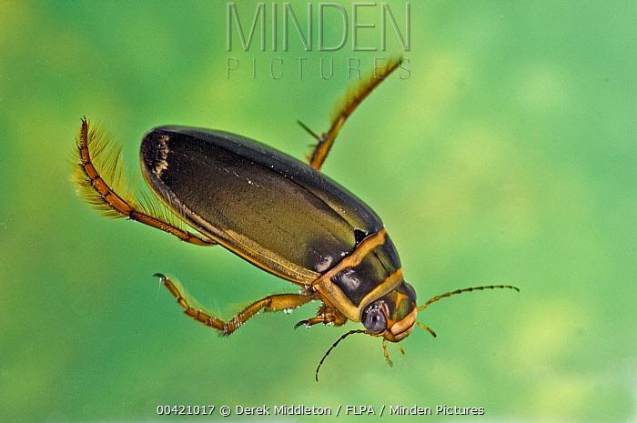 Great Diving Beetle (Dytiscus marginalis) diving underwater, England  -  Derek Middleton/ FLPA