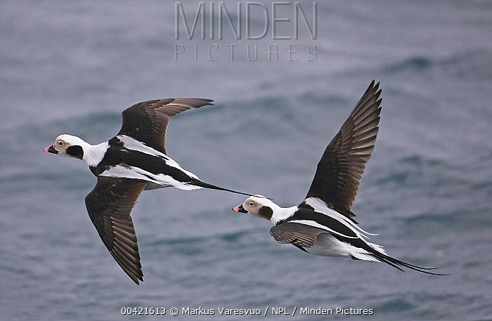 Long-tailed Duck (Clangula hyemalis) males flying over water, Iceland  -  Markus Varesvuo/ npl