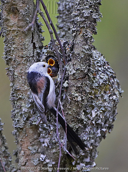 Long-tailed Tit (Aegithalos caudatus) at nest hole in tree with begging chicks, Helsinki, Finland  -  Markus Varesvuo/ npl