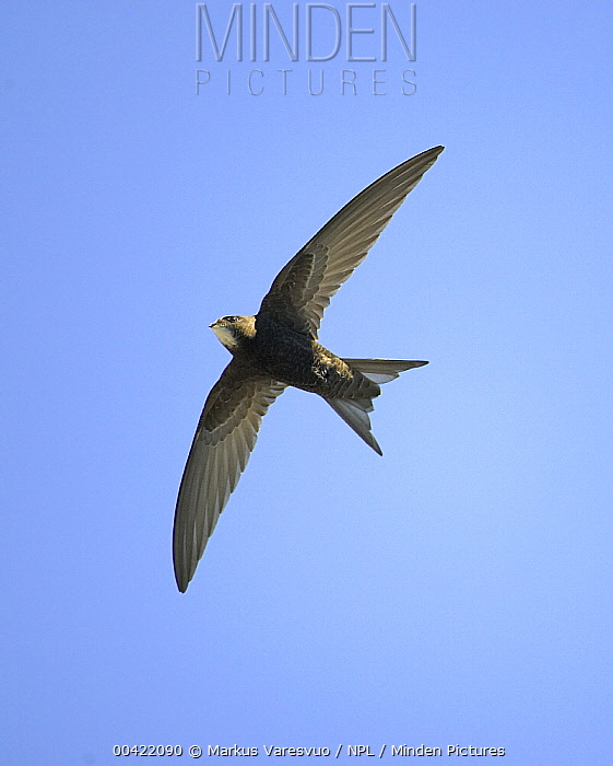 Common Swift (Apus apus) flying, Helsinki, Finland  -  Markus Varesvuo/ npl