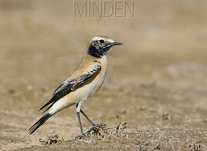 Desert Wheatear (Oenanthe deserti) male, Oman  -  Markus Varesvuo/ npl