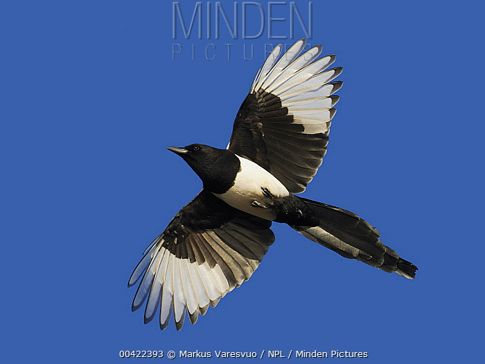 Black-billed Magpie (Pica pica) flying, Helsinki, Finland  -  Markus Varesvuo/ npl