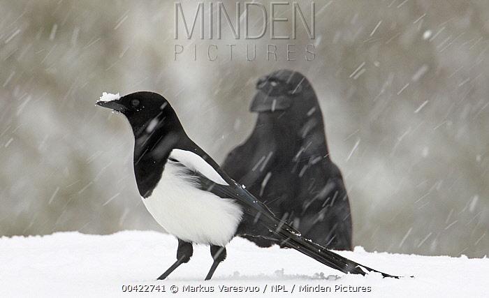 Black-billed Magpie (Pica pica) and Raven (Corvus corax) in snow, Finland  -  Markus Varesvuo/ npl