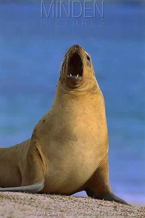 Hooker's Sea Lion (Phocarctos hookeri) female calling, New Zealand  -  Kevin Schafer