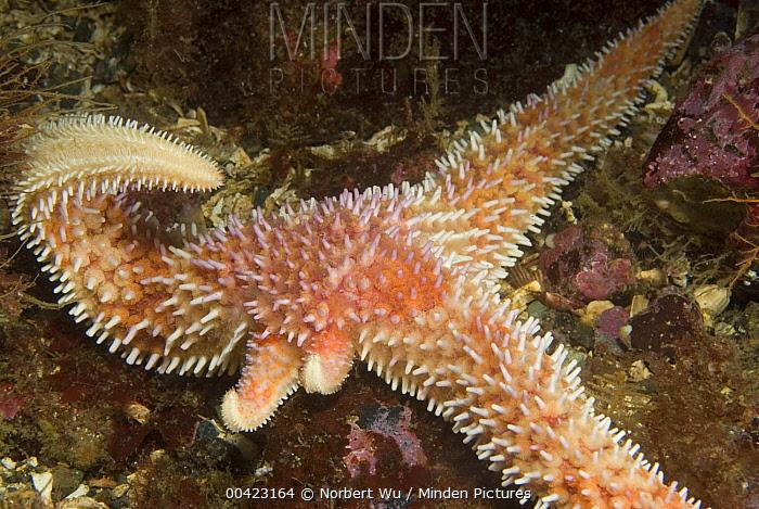 Sea Star (Solaster sp) regenerating arms, Vancouver Island, Canada  -  Norbert Wu