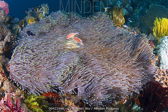 Pink Anemonefish (Amphiprion perideraion) pair in Magnificent Sea Anemone (Heteractis magnifica), Komodo Island, Indonesia  -  Norbert Wu