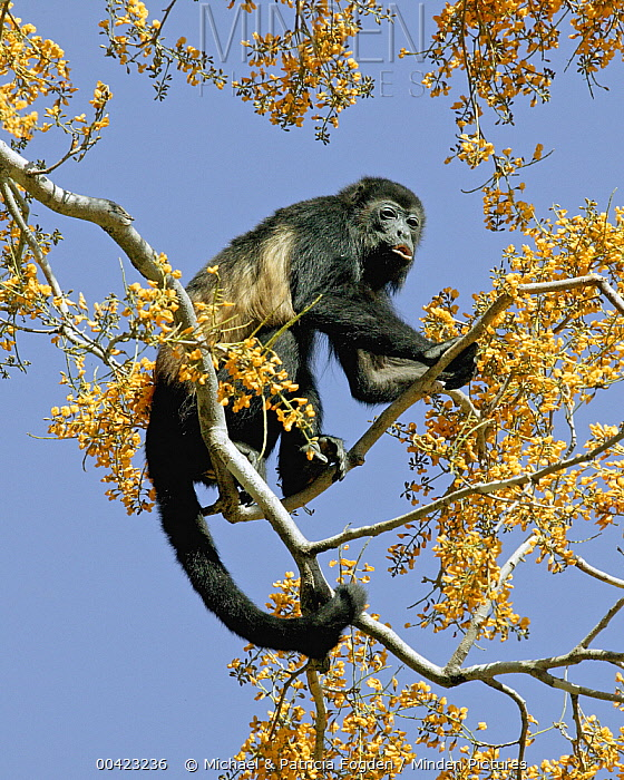 Mantled Howler Monkey (Alouatta palliata) male feeding on flowers of Padauk (Pterocarpus michelianus) tree, Lomas de Barbudal Biological Reserve, Guanacaste, Costa Rica  -  Michael & Patricia Fogden