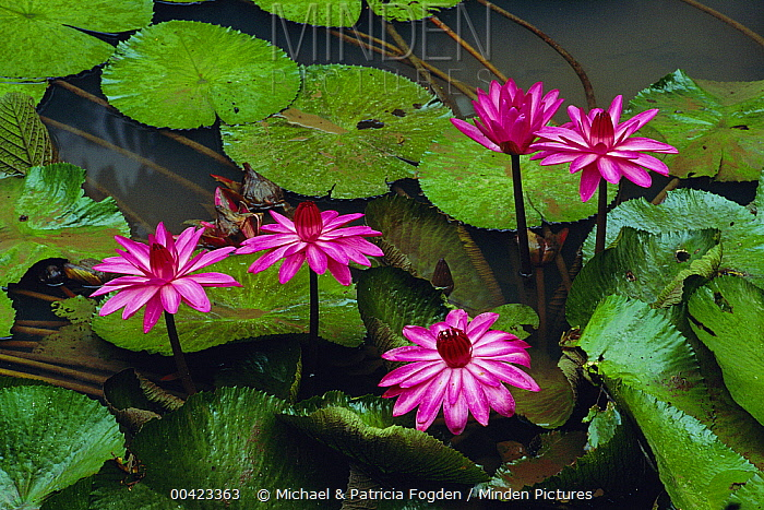 Water Lily (Nymphaea candida) flowers, Danum Valley, Sabah, Borneo, Malaysia  -  Michael & Patricia Fogden