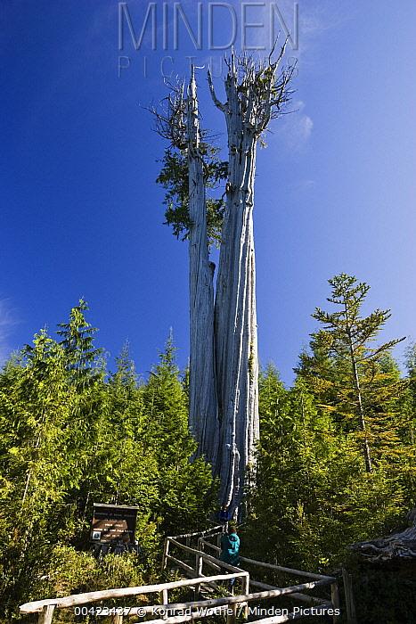 Western Red Cedar (Thuja plicata) tree, largest specimen in the world at 178 feet tall, Olympic National Park, Washington  -  Konrad Wothe