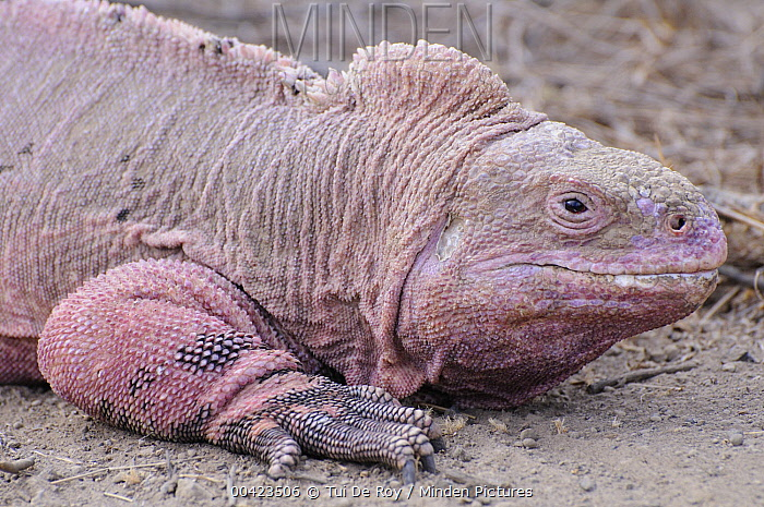 Galapagos Pink Land Iguana (Conolophus marthae) is a newly discovered species that lives only on Wolf Volcano, Isabella Island, Galapagos Islands, Ecuador  -  Tui De Roy